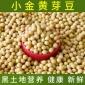 东北黑龙江小金黄芽豆 豆浆腐竹食品大豆 小粒芽豆